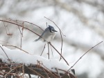 2014 Jan 07 - bluejay8