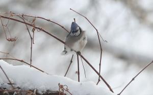2014 Jan 07 - bluejay7